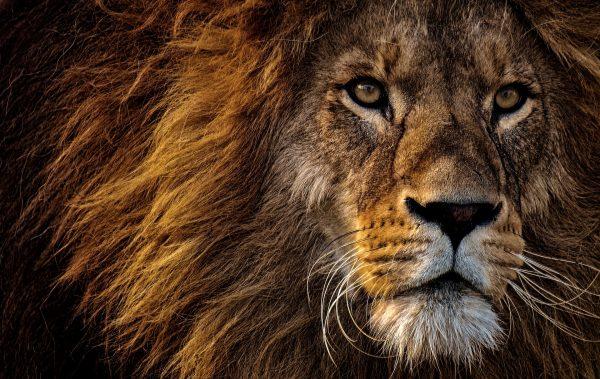 Un lion au regard perçant